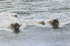 Bufalo iconico al lato del fiume di yellowstone immagine stock