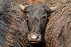 Bufalo indiano Fotografia Stock