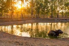 Bufalo isolato in uno stagno al tramonto in Tailandia orientale del nord, Asia fotografia stock