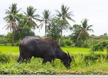 Bufalo nero della Tailandia che pasce Immagini Stock