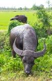 Bufalo nero della Tailandia che pasce Immagini Stock Libere da Diritti