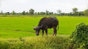 Bufalo nero della Tailandia che pasce Immagine Stock