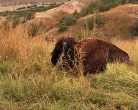 Bufalo que descansa por el camino Fotografía de archivo libre de regalías