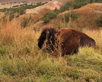 Bufalo resting by the road Royalty Free Stock Photography
