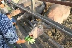 Bufalo sacro del palazzo di Surakarta Fotografia Stock Libera da Diritti