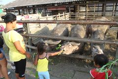 Bufalo sacro del palazzo di Surakarta Fotografia Stock