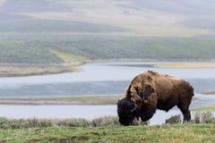 Bufalo selvaggio del bisonte che pasce - parco nazionale di Yellowstone - mountai Immagine Stock