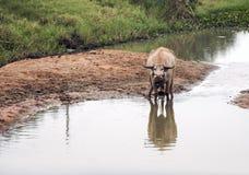 bufalo sul campo nell'agricoltura Fotografie Stock Libere da Diritti