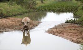 bufalo sul campo nell'agricoltura Fotografia Stock Libera da Diritti