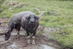 bufalo sul campo nell'agricoltura Immagini Stock