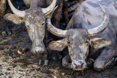 Bufalo tailandese Immagini Stock Libere da Diritti