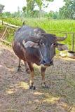 Bufalo tailandese Fotografie Stock Libere da Diritti