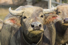 Bufalo tailandese Immagini Stock
