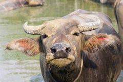 Bufalo tailandese Immagine Stock Libera da Diritti