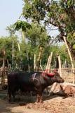 Bufalo tailandese Fotografia Stock