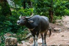 Bufalo tailandese immagine stock