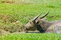 Bufalo tailandese che si siede nell'acqua nella palude fotografia stock libera da diritti
