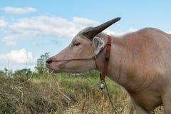 Bufalo tailandese dell'albino che mangia erba Fotografie Stock