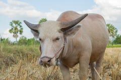 Bufalo tailandese dell'albino che mangia erba Immagini Stock