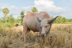 Bufalo tailandese dell'albino che mangia erba Fotografie Stock Libere da Diritti