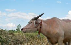 Bufalo tailandese dell'albino che mangia erba Fotografia Stock Libera da Diritti