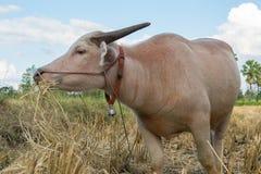 Bufalo tailandese dell'albino che mangia erba Immagine Stock Libera da Diritti