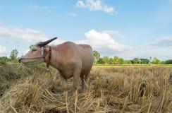 Bufalo tailandese dell'albino che mangia erba nel campo Fotografia Stock
