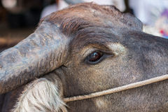 Bufalo tailandese, fine sul ritratto dell'occhio del bufalo del capo Immagine Stock
