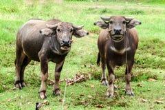 Bufalo tailandese gemellato sul campo verde Immagine Stock