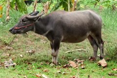 Bufalo tailandese sull'azienda agricola nell'agricoltura Immagine Stock