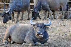 Bufalo tailandese in Tailandia del Nord fotografia stock