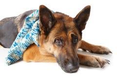 Bufanda que desgasta del perro de pastor alemán imagen de archivo libre de regalías