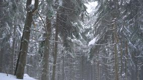 Bufera di neve in una foresta di conifere nevosa della montagna, tempo poco amichevole scomodo di inverno stock footage