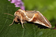 Buff arches moth. View of an buff arches moth against a green   background Stock Image