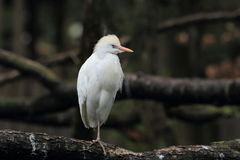 Buff-backed heron. Sitting on the wood Stock Images