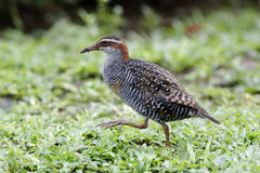 Buff-banded rail, Gallirallus philippensis Royalty Free Stock Images