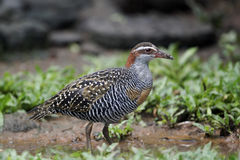 Buff-banded rail, Gallirallus philippensis Stock Photos