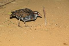 Buff-banded rail Royalty Free Stock Photography