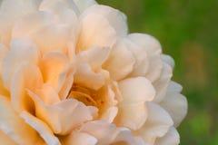 Buff Beauty rose Stock Image