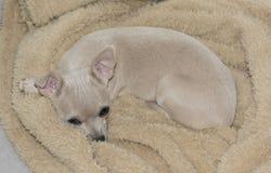 Buff Beige Chihuahua Puppy Lying op een Beige Deken royalty-vrije stock fotografie