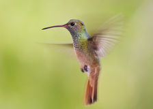 Buff-belied hummingbird hovering Royalty Free Stock Photos