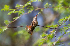 Buff-bellied Hummingbird. Posing for me in a tree Royalty Free Stock Photography