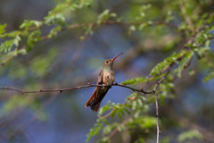 Buff-bellied Hummingbird. Sitting in a tree above me Royalty Free Stock Photography