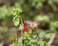 Buff-bellied Hummingbird. On turks cap flower in South Texas Stock Photos