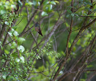 Buff-bellied Hummingbird. On turks cap flower in South Texas Stock Photo