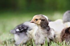 Buff Brahma Chick met anderen Royalty-vrije Stock Afbeeldingen