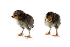 Buff Brahma Chicks Stock Photography