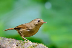 Buff-Breasted Babbler bird Stock Images