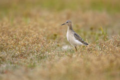 Buff-breasted Sandpiper (Tryngites subruficollis). In field near Jones beach, New York Stock Photo