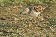 Buff-breasted Sandpiper. Young Buff-breasted Sandpiper foraging for food on the mossy ground Royalty Free Stock Image